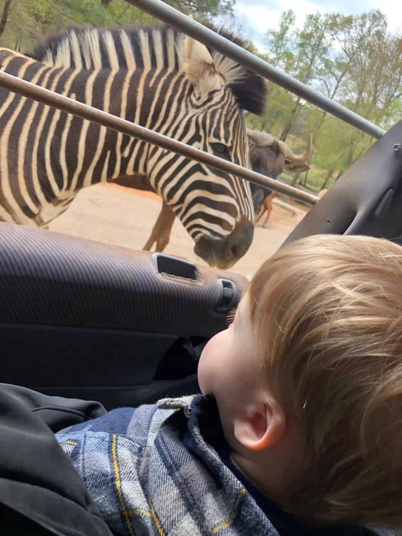 wild animal safari zebras