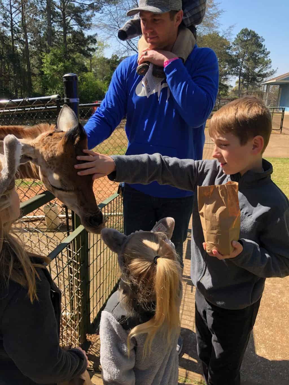giraffe at wild animal safari
