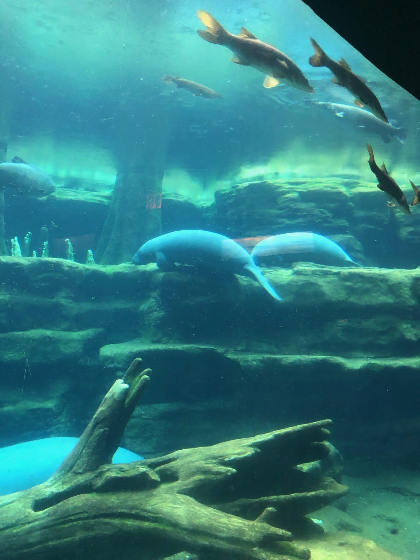 sea world manatees and alligators